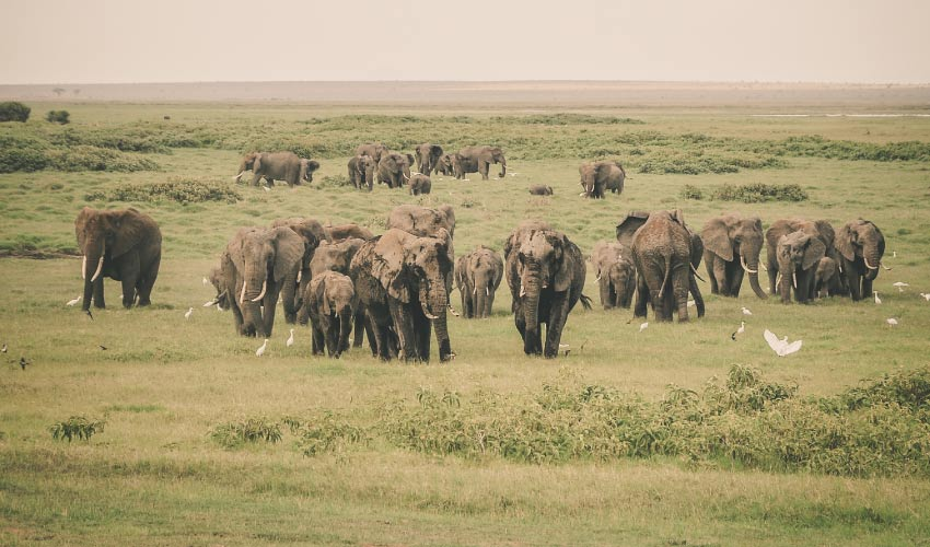 A herd of elephants with regenerating teeth graze on a green grassland